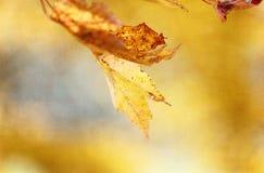 Guld- Autumn Maple Leaf Background Royaltyfri Foto