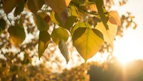 Guld- av det Pho eller Bodhi trädet Fotografering för Bildbyråer