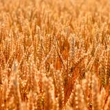 Guld- bakgrund för textur för vetefält royaltyfri bild