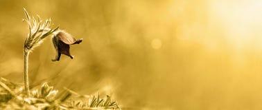 Guld- baner för naturblomma Royaltyfria Foton