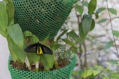 Guld- birdwing fjäril i trädgården Royaltyfria Foton