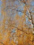 Guld- björk Arkivfoto