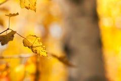 Guld- björksidor royaltyfri fotografi