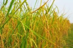 Guld- blänka för ris avslutas för skörd fotografering för bildbyråer