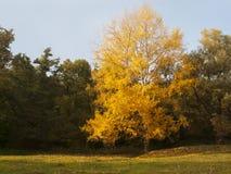 Guld- blad royaltyfria foton