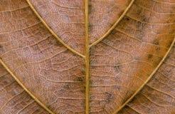 Guld- bladcloseup Foto för makro för höstbladtextur Torr gul bladådermodell Royaltyfria Bilder