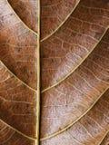Guld- bladcloseup Foto för makro för höstbladtextur Vertikal bladådermodell Arkivbilder