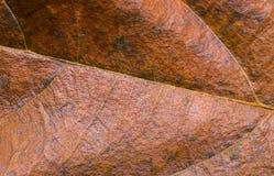Guld- bladcloseup Orange foto för bladtexturmakro Torr gul bladådermodell Royaltyfria Bilder