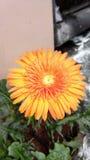 Guld- blomma för härlig sol fotografering för bildbyråer