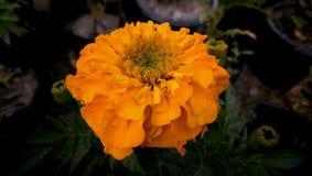 Guld- blomma för indisk ringblomma i trädgård royaltyfri bild