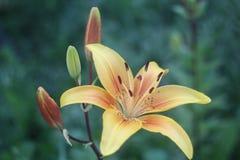 Guld- blomning Royaltyfria Bilder