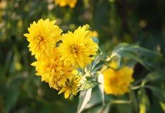 Guld- bollblomma för Rudbeckia Arkivfoton