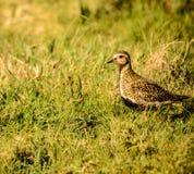 Guld- brockfågel Arkivfoton
