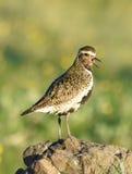 Guld- brockfågel Royaltyfria Bilder