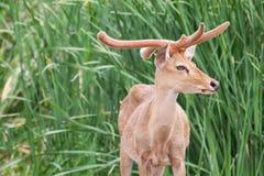 Guld- brunt ölanseende i djungeln Arkivfoto