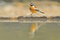 Guld- Bunting - lös fågelbakgrund - färger i natur frigör Royaltyfria Bilder