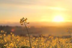 Guld- Canola för soluppgång Arkivfoto