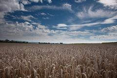 guld- cornfield Arkivfoton
