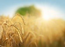Guld- cornfield i solig dag Royaltyfri Fotografi