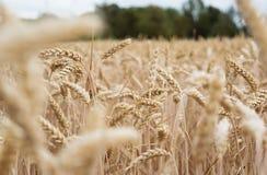 Guld- cornfield som är klar för skörd arkivbilder