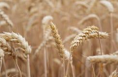 Guld- cornfield som är klar för skörd royaltyfri foto