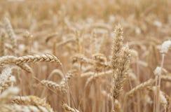 Guld- cornfield som är klar för skörd royaltyfri fotografi