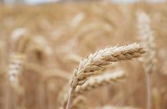 Guld- cornfield som är klar för skörd royaltyfri bild