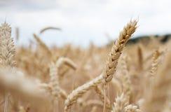 Guld- cornfield som är klar för skörd arkivfoton