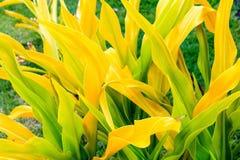 Guld- Crinum Crinum xanthophyllum fotografering för bildbyråer