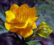 guld- drottningtrollius för cultorum x royaltyfria bilder