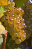 Guld- druvor på vinranka Arkivfoto