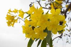 Guld- dusch, blomma Arkivbilder