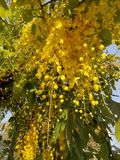 Guld- dusch & x28; Cassiafistel L & x29; blommor under guld- aftonljus royaltyfria foton