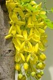 Guld- dusch, Cassiafistula Arkivfoton