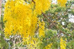Guld- dusch eller Cassiafistelblomma i trädgården eller naturen p arkivbild