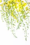 guld- dusch för blomma arkivfoton