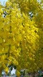 guld- dusch för blomma Royaltyfri Bild