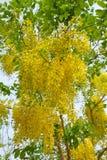 guld- dusch för blomma Arkivbilder