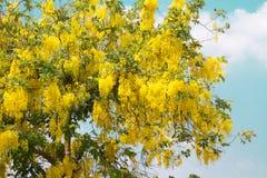 Guld- dusch för indisk gullregn Royaltyfria Foton