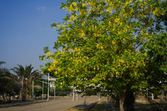 Guld- dusch som blommar på gatasidan Arkivbilder