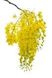 Guld- dusch som renar Cassia (svartvinbärsläskfisteln Linn) Arkivfoto
