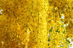 guld- duschtree Arkivfoto