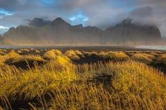 Guld- dyngräs på Vestahorn Fotografering för Bildbyråer