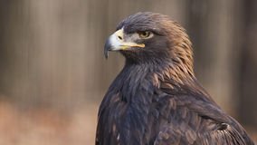 Guld- Eagle Royaltyfri Foto