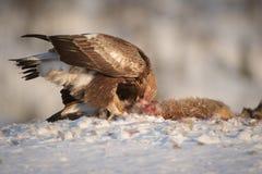 Guld- Eagle fotografering för bildbyråer