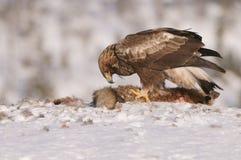 Guld- Eagle royaltyfri bild