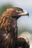 Guld- Eagle Arkivbilder