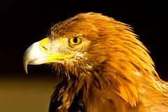 Guld- Eagle Arkivfoto