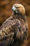 Guld- Eagle Arkivfoton