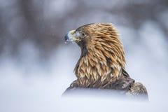 GULD- EAGLE, Aquila chrysaetos En stående i snön royaltyfri foto